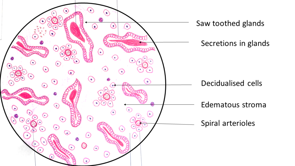 Endometrial dating histology
