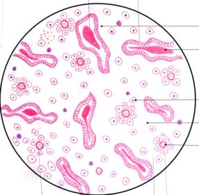 Endometrium: Secretory phase