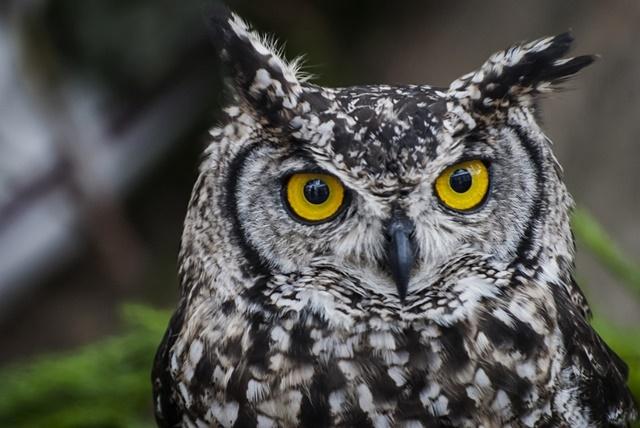 Similes & Metaphors in Pathology: Part 6 | Pathology Made ... Owl Eye Inclusion