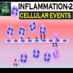 INFLAMMATION Part 2: Cellular Events- Leukocyte Recruitment.